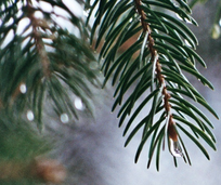 The Christmas Letter pine branch with a water drop at the tip of the pine needle