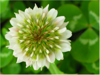 Close-up of a clover blossom with green clover leaves in background