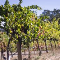 Grapevines and grapes in summer vineyard that illustrate overcoming life challenges